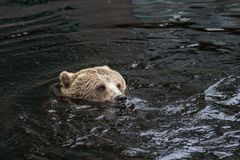 Closeup portrait of the head adult brown bear swimming in the dark water. Ursus arctos beringianus. Kamchatka bear. royalty free stock photography