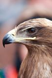 Closeup portrait of the head of an eagle in profile. Showing the strong curved beak royalty free stock photos