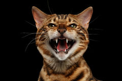Closeup Portrait of Hissing Bengal Cat on Black Isolated Background Royalty Free Stock Images