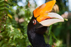 Closeup portrait of Hornbill bird Stock Images