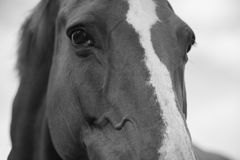 Closeup portrait of a horse. In black and white color royalty free stock photo
