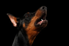 Closeup portrait of howling Doberman Pinscher Dog on isolated Black Royalty Free Stock Photos