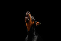 Closeup portrait of howling Doberman Pinscher Dog on isolated Black Stock Image