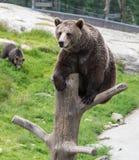 Closeup portrait of huge adult brown bear climbing on the tree trunk. Ursus arctos beringianus. Kamchatka bear. stock photo