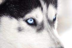 Closeup portrait of a husky dog Stock Image
