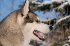 Closeup portrait of husky outdoor Royalty Free Stock Photography