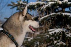 Closeup portrait of husky outdoor Stock Photography