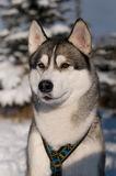 Closeup portrait of husky outdoor Stock Image