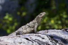 Iguana on a rock taking in the sun rays royalty free stock photo
