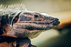 Closeup portrait of  iguana on a tree in zoo Stock Photography