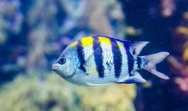 Closeup portrait of a indo pacific sergeant, tropical fish the Indian ocean, popular aquarium pet. A closeup portrait of a indo pacific sergeant, tropical fish stock photo