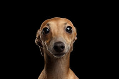 Closeup Portrait Italian Greyhound Dog Looking in Camera isolated Black Royalty Free Stock Photo