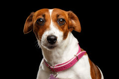 Closeup portrait of Jack Russell Dog on Isolated Black Background Stock Photography