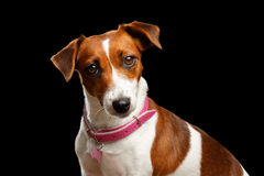 Closeup portrait of Jack Russell Dog on Isolated Black Background Royalty Free Stock Photos