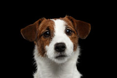 Closeup Portrait of Jack Russell Terrier Dog isolated on Black Stock Photo