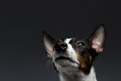 Closeup Portrait of Jack Russell Terrier Dog Looking up squints Royalty Free Stock Photo
