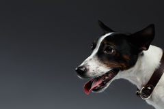 Closeup Portrait of Jack Russell Terrier Dog in Profile view Royalty Free Stock Image