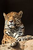 Closeup portrait of jaguar or Panthera onca. A predator from Amazon jungle in South America Royalty Free Stock Photos