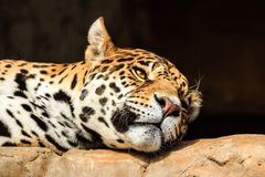 Closeup portrait of jaguar or Panthera onca. A predator from Amazon jungle in South America Stock Image