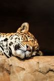 Closeup portrait of jaguar or Panthera onca Royalty Free Stock Photos