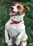 Closeup portrait of jumping small happy white and red dog jack russel terrier standing on its hind paws and looking up outside in. Park on green grass blurred Royalty Free Stock Photo