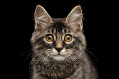 Closeup Portrait Kurilian Bobtail Kitty Curious Looks,  Black Background Stock Image