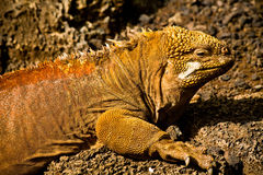 Closeup portrait of a land iguana in the Galapagos Stock Photo