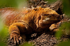 Closeup portrait of a land iguana in the Galapagos Stock Image