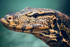 Closeup portrait of large lizard iguana in zoo. Arboreal species of lizard reptilia Royalty Free Stock Photography