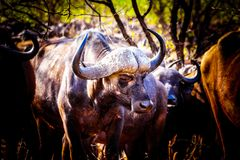Closeup Portrait of a large Water Buffalo in Kruger National Park Stock Photography