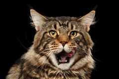 Closeup Portrait Licked Maine Coon Cat Face, Isolated Black Background Royalty Free Stock Image