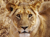Closeup portrait of a lioness Stock Photos
