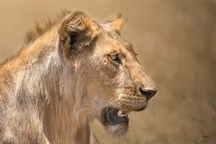 Closeup portrait of lioness Stock Images