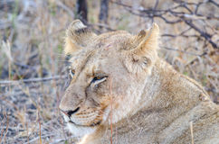 Closeup portrait of a lioness Royalty Free Stock Photos