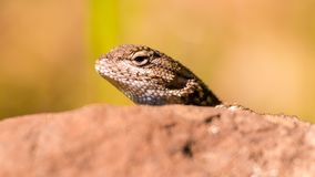 Closeup portrait of lizard species peeking his head out above a rock in Trione-Annadel State Park in Santa Rosa, California - on a stock photo