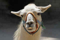 Closeup portrait of a llama Stock Photo