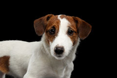 Closeup Portrait of look within Jack Russell Terrier Dog isolated Royalty Free Stock Photos