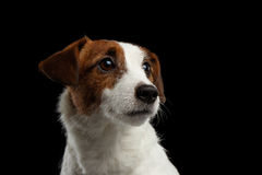 Closeup Portrait of look within Jack Russell Terrier Puppy isolated Royalty Free Stock Image