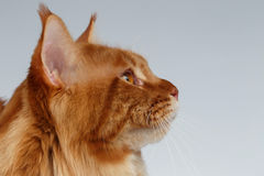 Closeup Portrait of Maine Coon Cat in Profile view on White Stock Photo