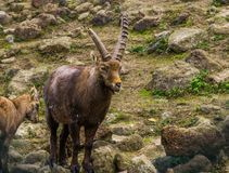 Closeup portrait of a male alpine ibex with horns, Animal from the mountains of europe royalty free stock image
