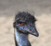 Closeup or Portrait of a Male Emu Royalty Free Stock Photography