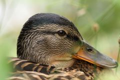 Closeup portrait of a mallard duck Stock Photography