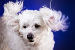 Closeup portrait of maltese dog in dynamic ears on blue backgroud. Closeup portrait of maltese dog in dynamic ears on blue background,studio Royalty Free Stock Image