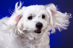 Closeup portrait of maltese dog in dynamic ears on blue background. Studio Stock Images