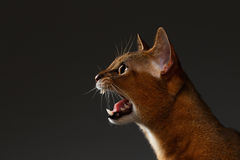 Closeup Portrait of Meowing Abyssinian cat on black background. Profile view stock photos