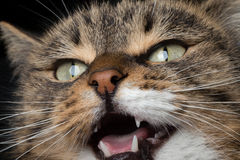 Close-up portrait meowing cat. With red nose Royalty Free Stock Images