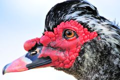 Closeup portrait of Muscovy duck Stock Photography