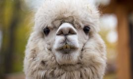 Free Closeup Portrait Of An Adorable Cute White Curly Shagged Female Alpaca With With An Amusing Headdress Chewing A Dry Stock Image - 163954091