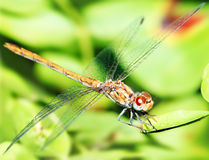 Free Closeup Portrait Of Dragonfly Stock Photos - 15982313