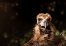 Free Closeup Portrait Of The Cinereous Vulture, Aegypius Monachus, Monk Vulture, Eurasian Black Vulture Royalty Free Stock Photography - 201526707